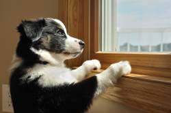 Australian puppy watching at window