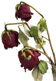Three wilted roses