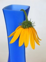 Wilted yellow flower in blue vase